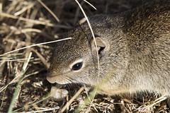 Uinta ground squirrel - head (nicoangleys) Tags: tetons grandtetonsnp nationalpark wyoming jacksonhole schwabacherslanding