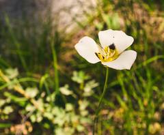 mariposa lily. (PaperSt.SoapCo.) Tags: tuolumne tuolumnemeadows yosemite yosemitenationalpark mariposalily california ca californianativeplants wildflower wildflowers