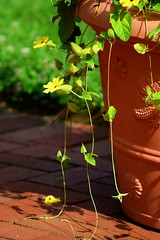 Yellow tendrils (heyjudephoto) Tags: yellow flowers flower pot urn nature tendrils vine hanging plant summer patio