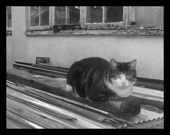 Comfort in Dereliction (Margaret Edge the bee girl) Tags: cat blackandwhite greyscale feline animal pet windows sitting summer