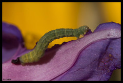 A delight (MathBIB) Tags: delight rgal festin chenille caterpillar insecte insect nature fleurs fleur flower flowers canon 70d 60mm macro violet purple yellow jaune