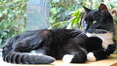 Cortez (Cajaflez) Tags: huisdier tuxedo kater tomcat gatto chat katze 16jaar 16years