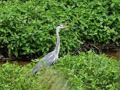 Grey heron () (Greg Peterson in Japan) Tags: yasu shiga wildlife oyamakawa egretsandherons japan birds rivers shigaprefecture jpn