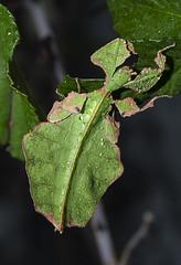 Phyllium giganteum L4 (Pere_olivella) Tags: phyllium phasmidae fasmid fasmidae fasmido fsmid fsmido giganteum insecte insecto insect macro macrofotografia macrophotography nikon