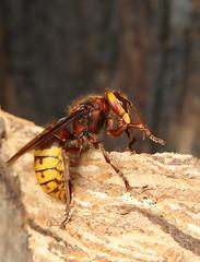 European hornet (Mike Mckenzie8) Tags: vespa crabro british insect uk invertebrate nest sting paper woods forect mandible antennae autumn canon flash macro