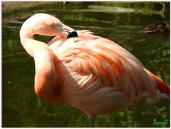 Flamant du Chili - Chilean flamingo (Jogabi - Michle) Tags: sunrays5 coth5