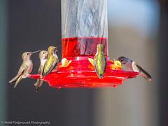 US_CA_Malibu_26476_2016-October-16_155934_HeidiPodjavorsek.jpg (Heidi M Podjavorsek) Tags: california usa northamerica nature bird losangeles season location malibu malibulagoon fauna annashummingbird hummingbird