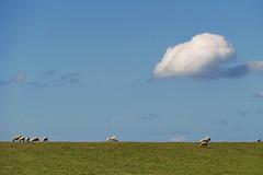 Landschaft mit Schafen (antje whv) Tags: landschaft landscape deich dike rheiderland dollart himmel sky wolke cloud schafe sheep dyksterhusen