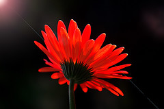 IMGP4455  Gerbera daisy (tsuping.liu) Tags: outdoor organicpatttern blackbackground bright blooming depthoffield lighting red ultralucent nature natureselegantshots naturesfinest flower plant petal photoborder perspective passion pattern photographt