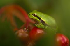 Boomkikker / Tree frog / Rainette verte (Gladys Klip) Tags: boomkikker treefrog rainetteverte