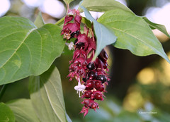 6-IMG_5899 (hemingwayfoto) Tags: berggartenhannover blhen blte blume garten geisblatt himalaya himalayageisblatt leycesteria leycesteriaformosa natur park pflanze