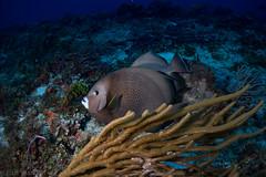 The Backward Glance (jcl8888) Tags: wildlife fisheye abundant life alive adventure fish gray blue saltwater sea ocean underwater travel vacation diving scuba coral reef angelfish nauticam tokina1017mm d7200 nikon mexico cozumel
