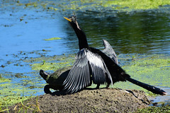 we can all be friends.... :) (all one thing (trying to catch up...)) Tags: wecanallbefriends anhinga anhingaanhinga turtle friends nature water lake shore wings gettingalong friendship