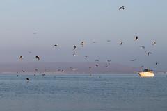 A flight of seagulls (fabioresti) Tags: flight seagulls volo gabbiani bahiaparacas baia per canoneos80d 55250