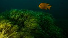 PA070580.jpg (Michael Bartosek) Tags: olympusepl3 catalinaisland olympus1442mm underwater catalina diving california pacificocean