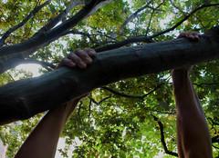 L (Harperauman) Tags: limit arms veins strain effort hold tree