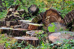 Wooden Steaks (Michael C. Hall) Tags: felled tree chop chainsaw wood forest woodland management forestry