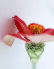 Zinnia (tisatruett) Tags: zinnia garden flower flora bloom blossom nature lovely pretty