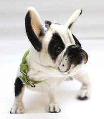 bully8 (Yanina Link) Tags: teddy toys puppy bilibinobears bulldog frenchie bully doll dog softsculpture sculpture ooak ooakteddybear ooakdoll art artwork animals artistteddybear