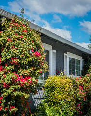 Flowers and Windows - HWW (randyherring) Tags: ca flowers purple sanjose outdoor window white wall clouds trees california blue bloomingflower sidewalk flora red plant house afternoon sky blooming bloom green grass fence unitedstates us
