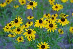 Brown-eyed Susans (ctberney) Tags: flowers wild yellow joyful nature