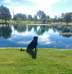 Posing In The Park! (Service.dog.addie) Tags: tasktrained tasks outside dogtraining iphone6splus iphone iphoneography september2016 fall autumn happiness animal dog outdoors happy pose posing grass water labs dogs workingdog assistancedog servicedog park mixedbreed lake arizona scottsdale scottsdalearizona mutt bordercolliemix labmix retriever labradorretriever labrador blacklab lab