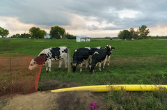 Stitching up a Landscape (Roger-Bruce) Tags: cows natural gas pipeline dairy farm