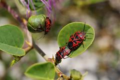 Reproduce (Steenjep) Tags: samos holiday ferie greece grækenland windlife macro closeup flower beetle dof eurydemaornata redcabbagebug schmuckwanze rødkåltæge capparisspinosa kapers caper