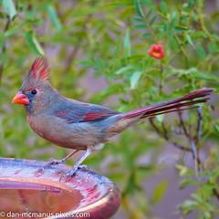 Female Cardinal (Kukui Photography) Tags: canyon ranch arizona bird hdr saguaro sunrise tucson canyonranch