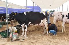 Senasa realiz la inspeccin sanitaria de ms de 300 bovinos (senasaperu) Tags: senasa vferianacionaldeganadolechero holstein brownswiss sanidadanimal