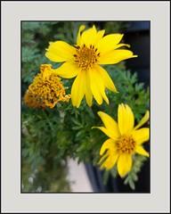 Nice Yellow (Lise ) Tags: 00246 city flowers yellow lg5