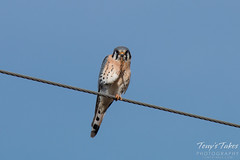 An American Kestrel appears to be giving a three fingered salute.