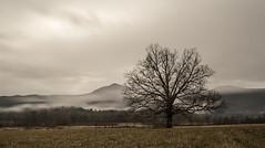 Veils of the Morning (Appalachian Hiker) Tags: morning mist tree fog moody smokies muted greatsmokymountains cadescove gsmnp