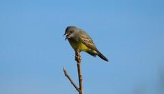 Cassin's kingbird - Floyd Bennett Field, Brooklyn, NY (superpugger) Tags: lawrencepugliares lpugliares cassinskingbird birding birds newyorkcitywildlife tyrannusvociferans tyrantflycatcher flycatchers flycatcher