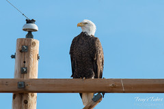A very proud and regal Bald Eagle
