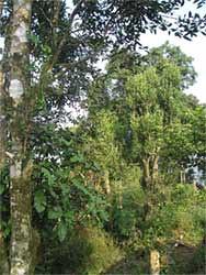 Chè Tuyết Mẫu Sơn