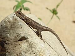 Tropidurus torquatus (evaldoheber) Tags: life animal animalplanet reptil calango evaldo repitile tropidurustorquatus ehsn amazonlavalizard evaldonascimento evaldoheber