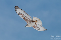 Ferruginous Hawk flies away