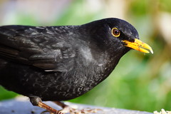 Unusual blackbird. (artanglerPD) Tags: male shine beak silvery blackbird disfigured