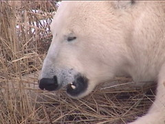 Polar Bear Churchill 4