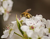 Photo of Bees and Bradford Pear 7