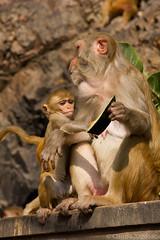 Galwar Bagh (Pepper@ncini) Tags: india temple monkey monkeys jaipur rajasthan galta galwarbagh kunds galav ramgopalji khaniabalaji