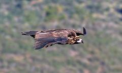 Drifting (Avian Sky) Tags: bird spain flight raptor vulture blackvulture birdofprey extremadura 400mm canon7d peafalcn aviansky