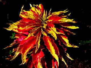 Flame Nettle (Explored 11/2/15)