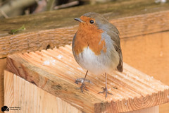 robin (Thomas Winstone) Tags: winter wild snow bird nature birds wales garden bbc avian oiseaux