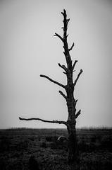 Days by the sea, lonly tree (Hildingsson) Tags: blackandwhite bw varberg halland vstkusten svartvitt daysbythesea michaelhildingsson utteros tvkergata