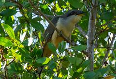 Mangrove Cuckoo (ChicagoBob46) Tags: southwest bird florida birders sanibel cuckoo mangrovecuckoo sabibelisland jndingdarlingnwr