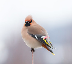 Another Waxwing (tods_photo) Tags: bird small ngc smooth silk sidensvans