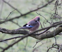 Jay by the Lower Road on Dawn Chorus Walk (stephenmid) Tags: bird alexandrapalace alexandrapark allypally birdbrain