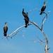 Cormorant , Rio Lagartos , Yucatan , Mexico